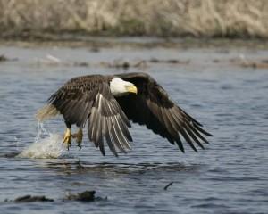 [EagleFlying at blackwter refuge by larry Hitchens.jpg]